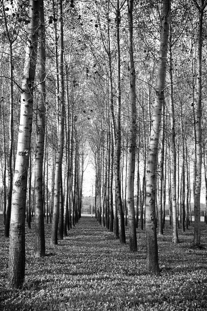 The parallel rows of poplar trees, the makeshift structure of the first Marazzi factory in 1935.